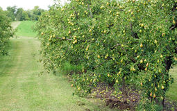 Pear Orchard Royalty Free Stock Photography