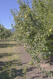 Pear orchards in Hood River Valley Oregon. Pear trees in orchards Hood River Valley Oregon stock photo