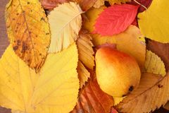 Pear over autumn leaves Stock Image