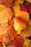 Pear over autumn leaves Royalty Free Stock Images