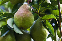 Pear on pear tree Royalty Free Stock Image