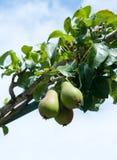 Pear, Pear tree Stock Image