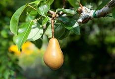 Pear, Pear tree Stock Photo
