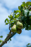 Pear, Pear tree Royalty Free Stock Photography