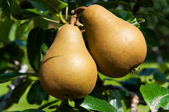 Pear, Pear tree Royalty Free Stock Image