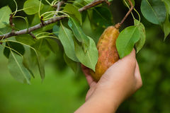 Pear Picking. A young girl picking a pear off a tree Stock Images