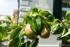 Pear pirum hanging from a tree Royalty Free Stock Photo