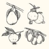 Pear and pomegranate. Currant, branches, leaves isolated on white background. Hand drawing. Vintage. Black and white. Vector Stock Images