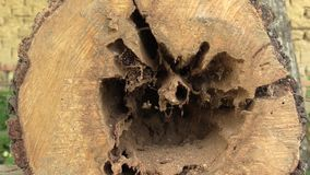 Pear Pyrus communis attacked by wood-destroying insects, tree cut trunk very attacked woodworm by larvae eg goat moth