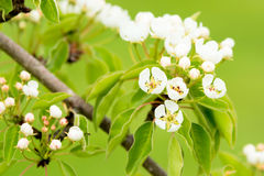 Pear (Pyrus communis) Royalty Free Stock Image