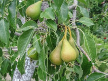 Pear ripening growing on a pear tree branch in orchard. Ripening Pear fruits growing on a pear tree branch in orchard Stock Images