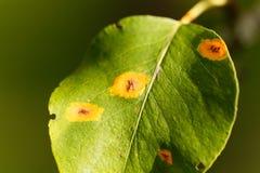 Pear rust disease, Gymnosporangium sabinae Stock Images
