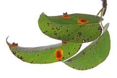Pear rust (Gymnosporangium fuscum) Stock Images