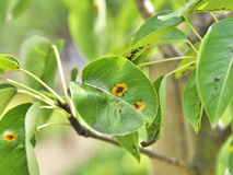 Pear rust. Photo shows a rust diseases (pear rust) on pear stock photo