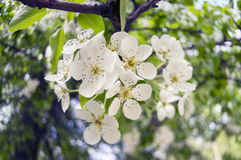Pear shining delicate flowers Stock Image
