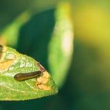 Pear Slug Stock Images
