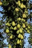 Pear tree. Close up eines Birnbaum mit leckeren Früchten Royalty Free Stock Photos