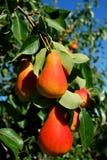 Pear tree Stock Photos