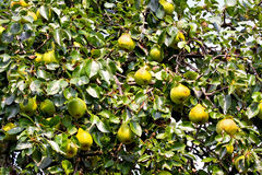Pear tree Royalty Free Stock Images