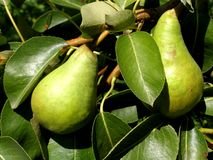 Pear tree. Detail photo of the pear tree with pears background Royalty Free Stock Image