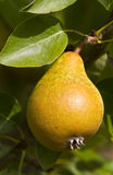 Pear on the tree Royalty Free Stock Photos