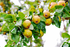 Pear tree Stock Photography