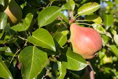 Pear tree. Close-up on a pear in an pear tree Royalty Free Stock Photography