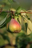 Pear on tree. At early autumn Royalty Free Stock Image