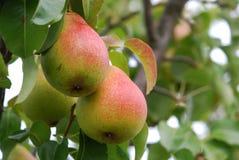 Pear-tree Royalty Free Stock Image