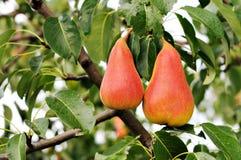 Free Pear Tree. Royalty Free Stock Photo - 23330405