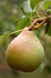 Pear on the tree. Food, gastronomy, cooking,cookery Royalty Free Stock Photo