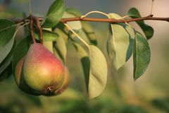 Pear on a tree. At early autumn Stock Photography