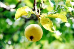 Pear a tree. Pear fruits on pear tree, branch Stock Photo