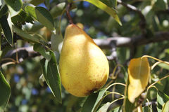 Pear in a tree Stock Photos