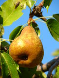 Pear on tree. With sky in background Royalty Free Stock Image