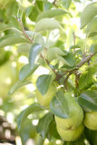 Pear Tree Stock Photos