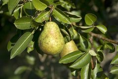 Pear on a tree Stock Photos