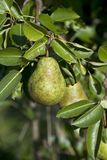 Pear on a tree royalty free stock images