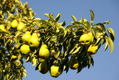 Pear Tree against blue sky Stock Photography