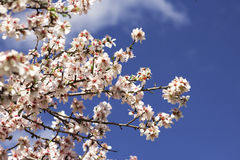 Pear Tree Against Sky. Closeup of cherry blossom branch against blue sky Royalty Free Stock Photo
