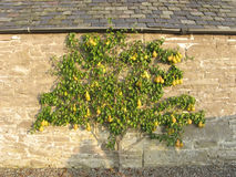 Pear tree against wall Stock Photo