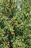 Pear tree in the autumn Stock Photography
