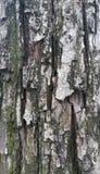 Pear tree bark Royalty Free Stock Photography