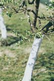 Pear tree with bark whitewashed with lime royalty free stock image