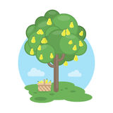 pear tree. Stock Images
