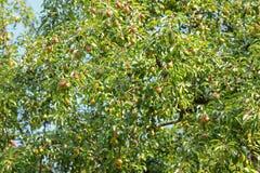 A Pear tree bearings many fruit Stock Photo