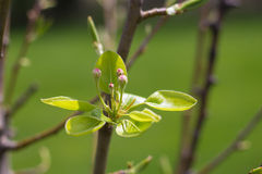 Pear Tree in Bloom Royalty Free Stock Photos