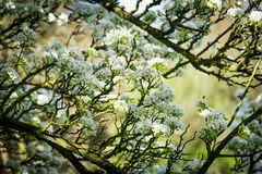 Pear tree in bloom Stock Photo
