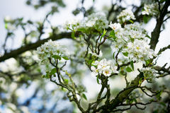 Pear tree in bloom Royalty Free Stock Photography