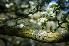 Pear tree in bloom Stock Images